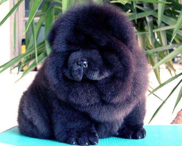 黑熊和金娜黑色松狮幼犬图片 松狮犬图片 松狮图片