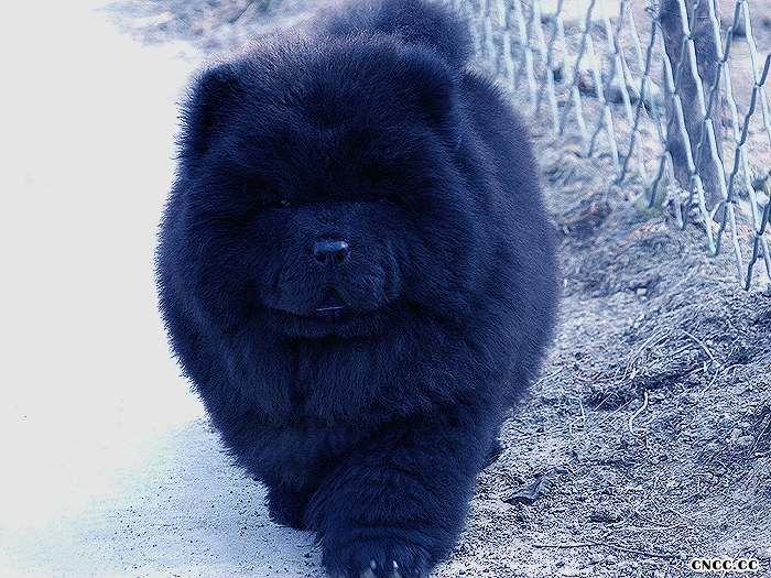09熊仔和六万黑色松狮幼犬公犬图片黑色松狮图片