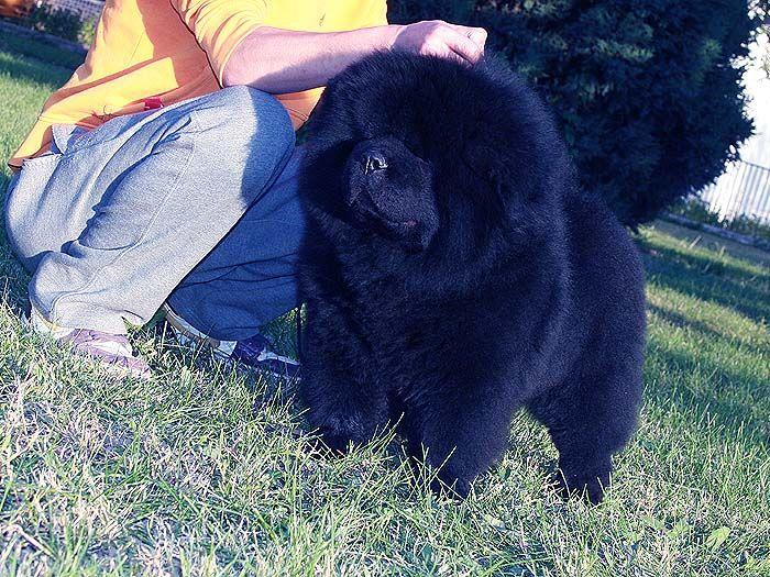 纯种黑色松狮犬图片 黑松狮犬幼犬公照片