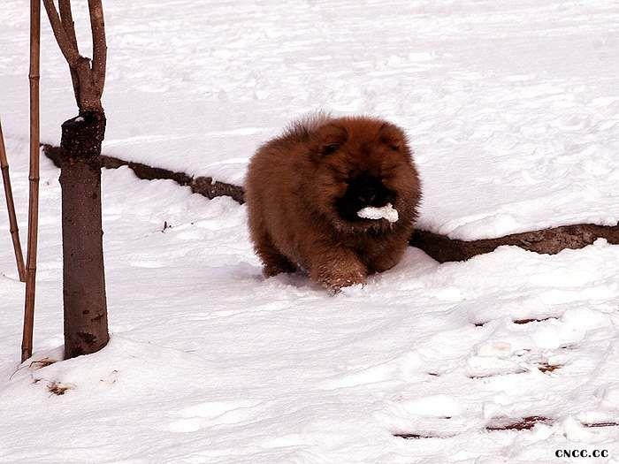 战神和无敌2个月纯种美系松狮幼犬图片照片