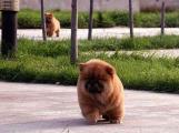 让松狮定点大便小便定点排便训练松狮幼犬早期训练