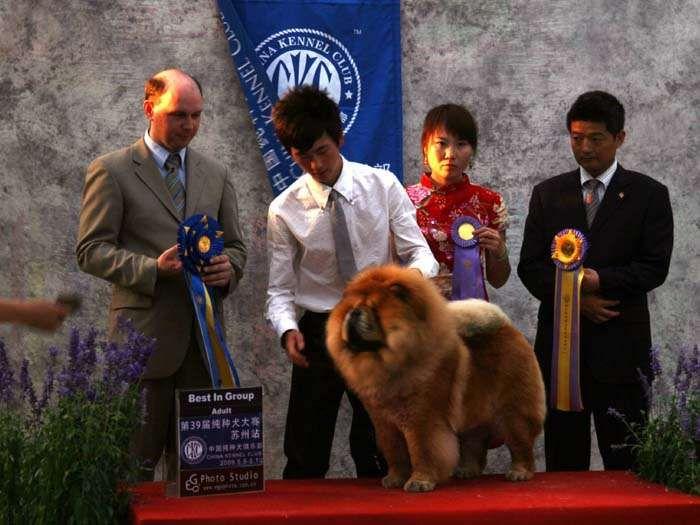 松狮犬冠军图片3.jpg
