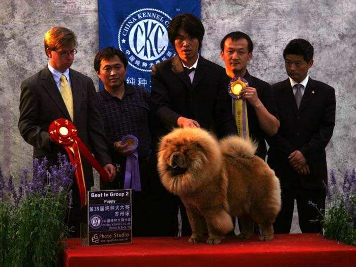 松狮犬冠军图片2.jpg