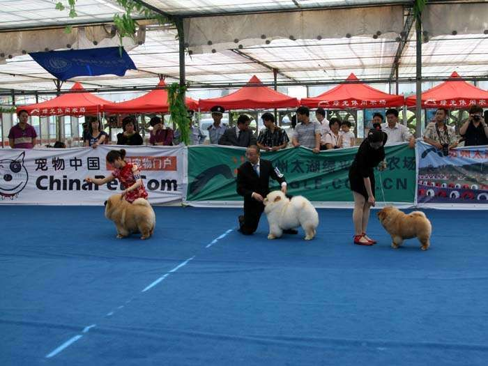 松狮犬冠军图片16.jpg