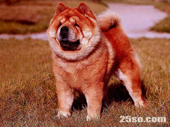 纯种短毛松狮犬亲王顶级松狮种公配种