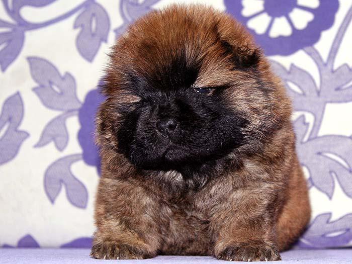 出售机遇和小飞飞的赛级纯种松狮犬母犬 出售松狮 纯种松狮犬 纯种松狮-3