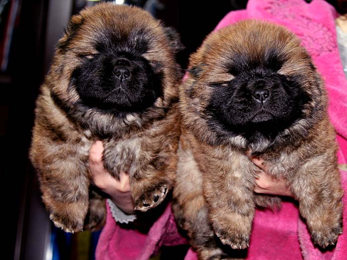 出售纯种松狮犬母犬机遇和小飞飞的孩子