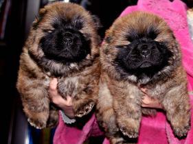 出售纯种松狮犬母犬机遇和小飞飞的孩子图片