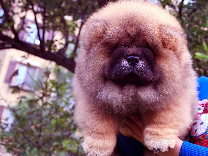 出售世界范围内红色顶级松狮幼犬价格 松狮犬价格 图片2