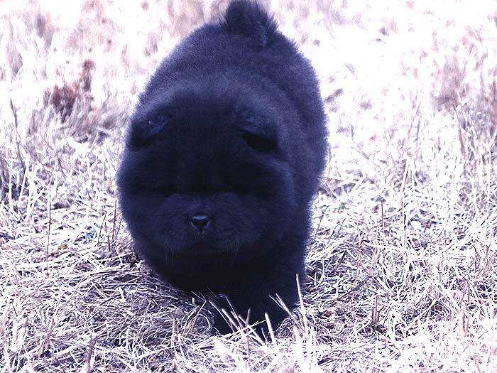 出售小现金的纯种顶级松狮犬黑色幼犬公-图片3