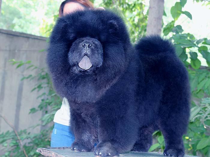 黑色6个月纯种赛级松狮幼犬公犬出售
