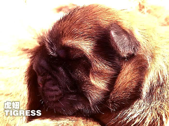 刚出生的冠军级松狮犬TIGERSS虎妞松狮母犬图片