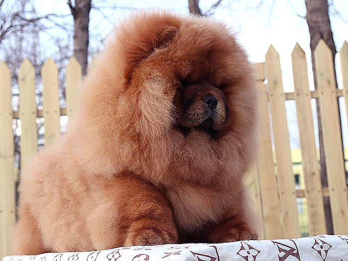 6个月冠军级松狮犬未来超级种公25925松狮犬视频