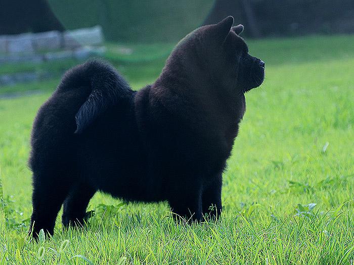 三个月纯种黑色短毛松狮犬公犬图片图片