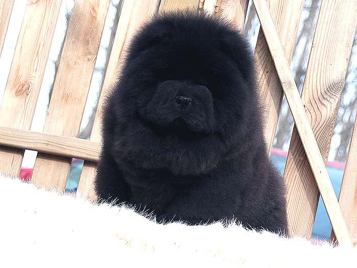 出售纯种松狮犬黑色松狮幼犬公犬价格