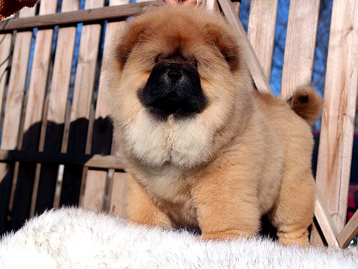 特价出售三个月纯种松狮犬母犬价格